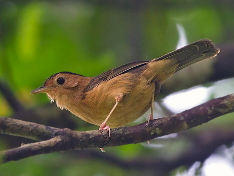 Brown-capped Babbler - Peter  Ericsson