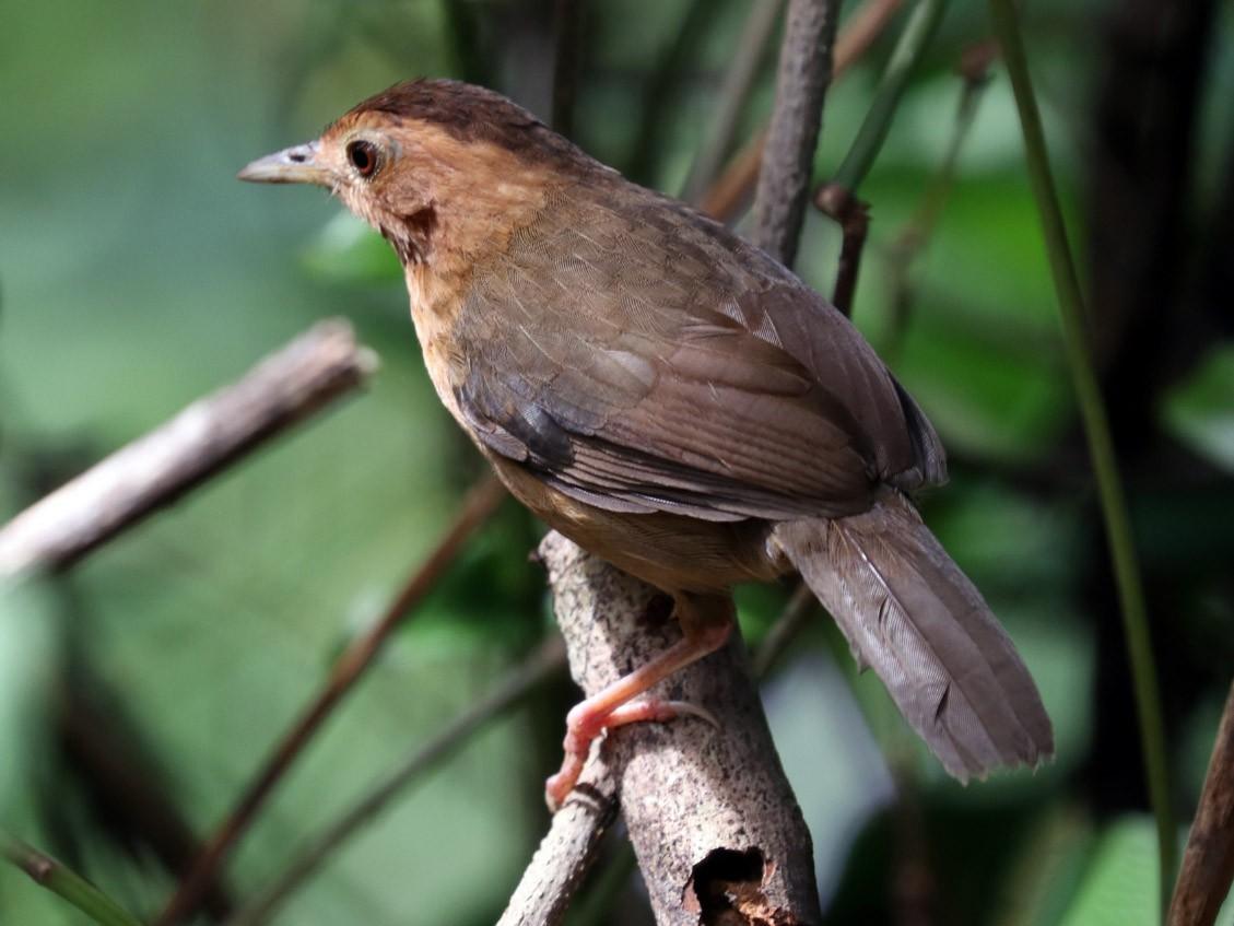 Brown-capped Babbler - Rangana Abeyrathne