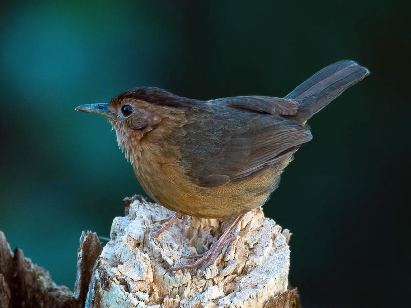 Brown-capped Babbler - Eric francois Roualet