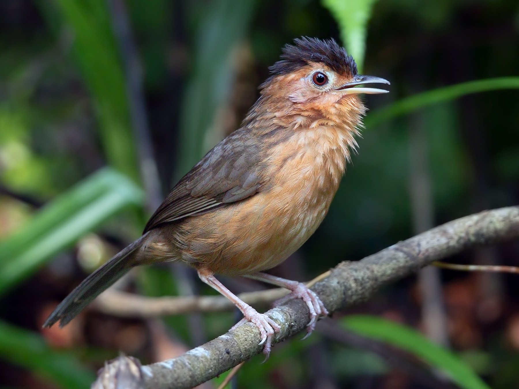 Brown-capped Babbler - Marco Valentini