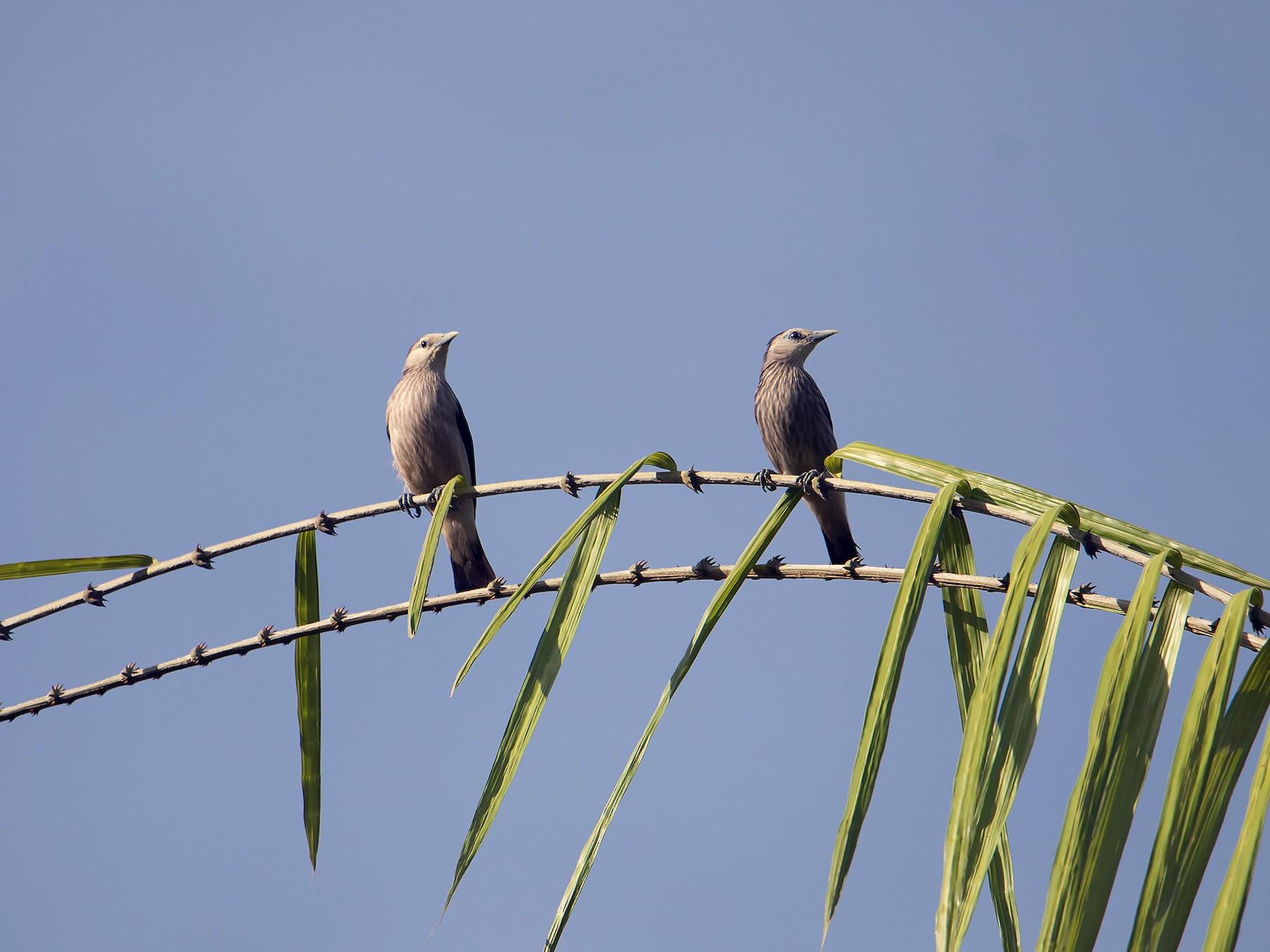 White-faced Starling - Debankur  Biswas