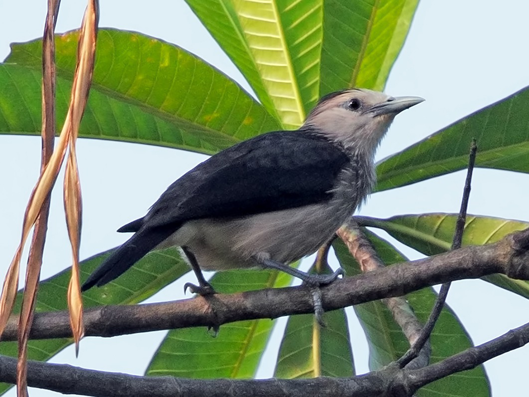 White-faced Starling - Marco Valentini