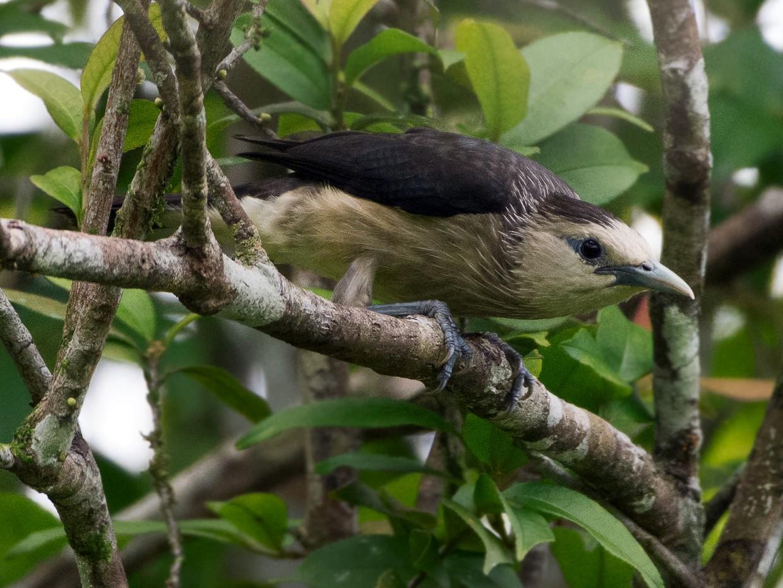 White-faced Starling - Shashika Bandara