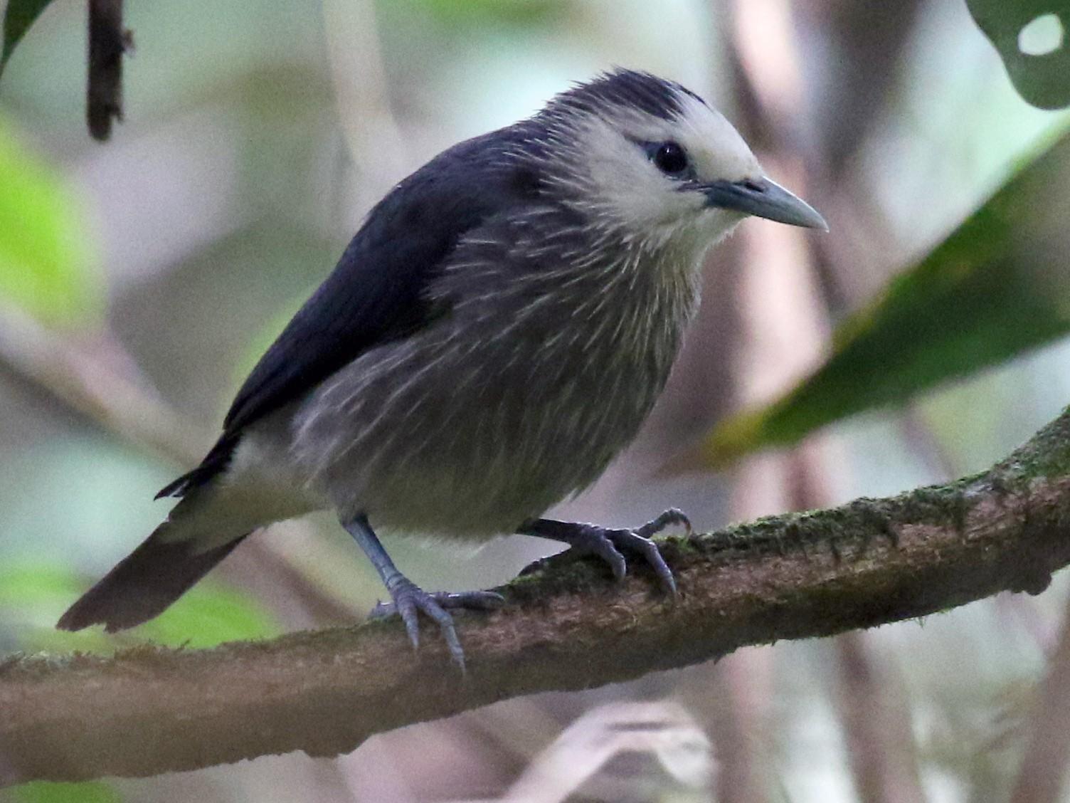 White-faced Starling - Iroshan Rupasinghe