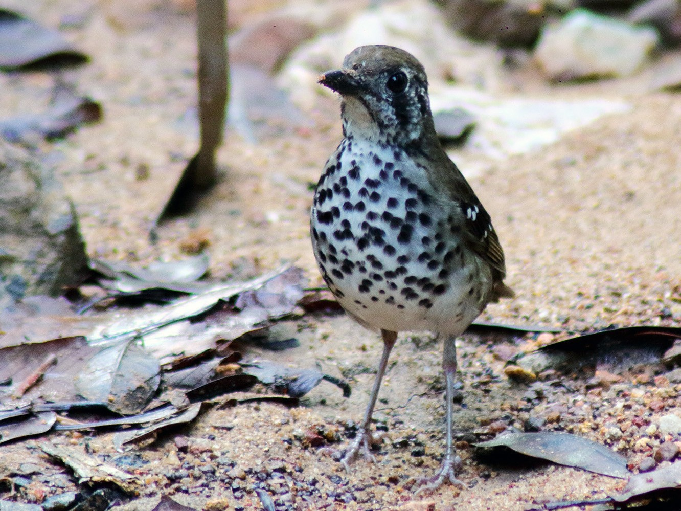 Spot-winged Thrush - David Clark