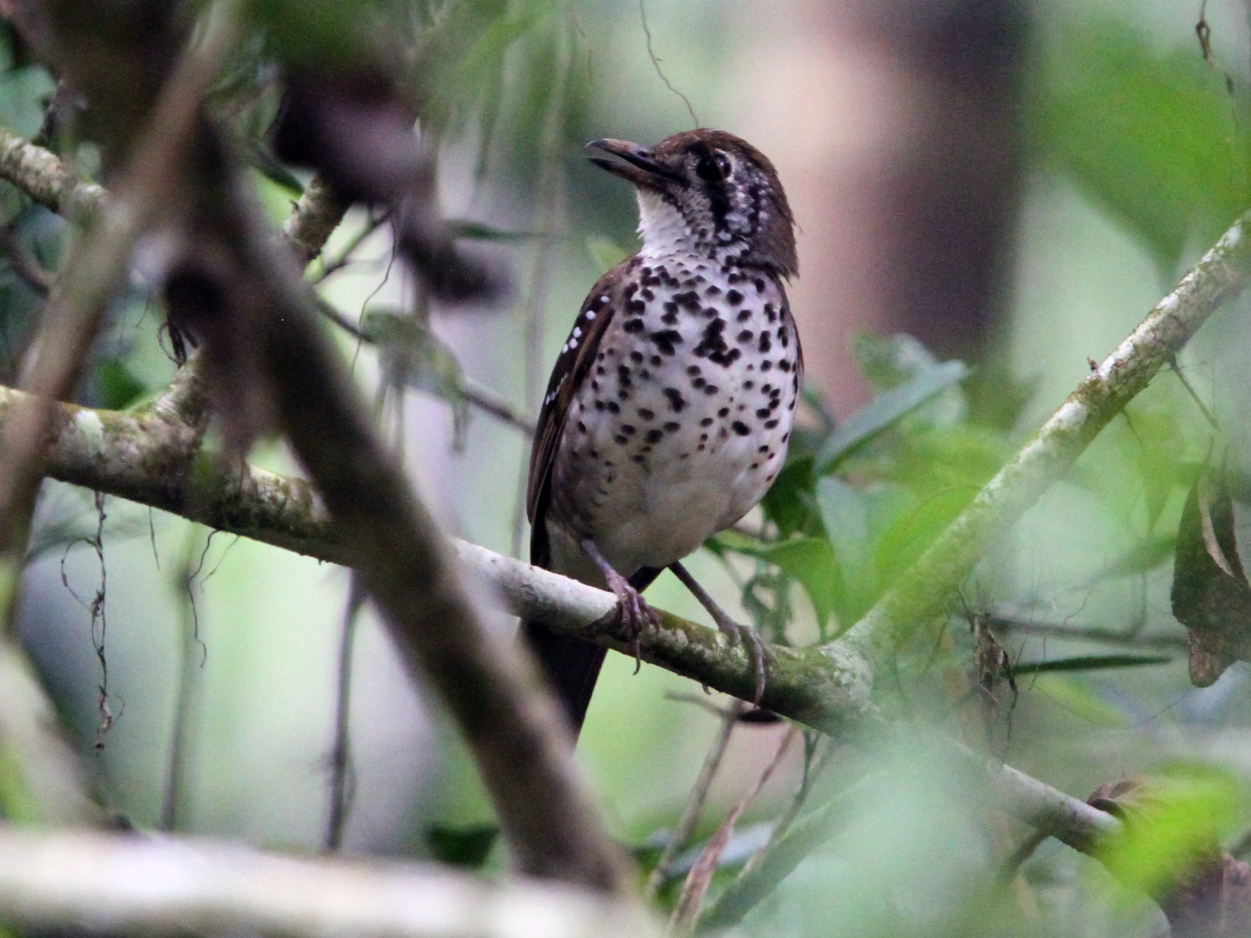 Spot-winged Thrush - Christoph Moning
