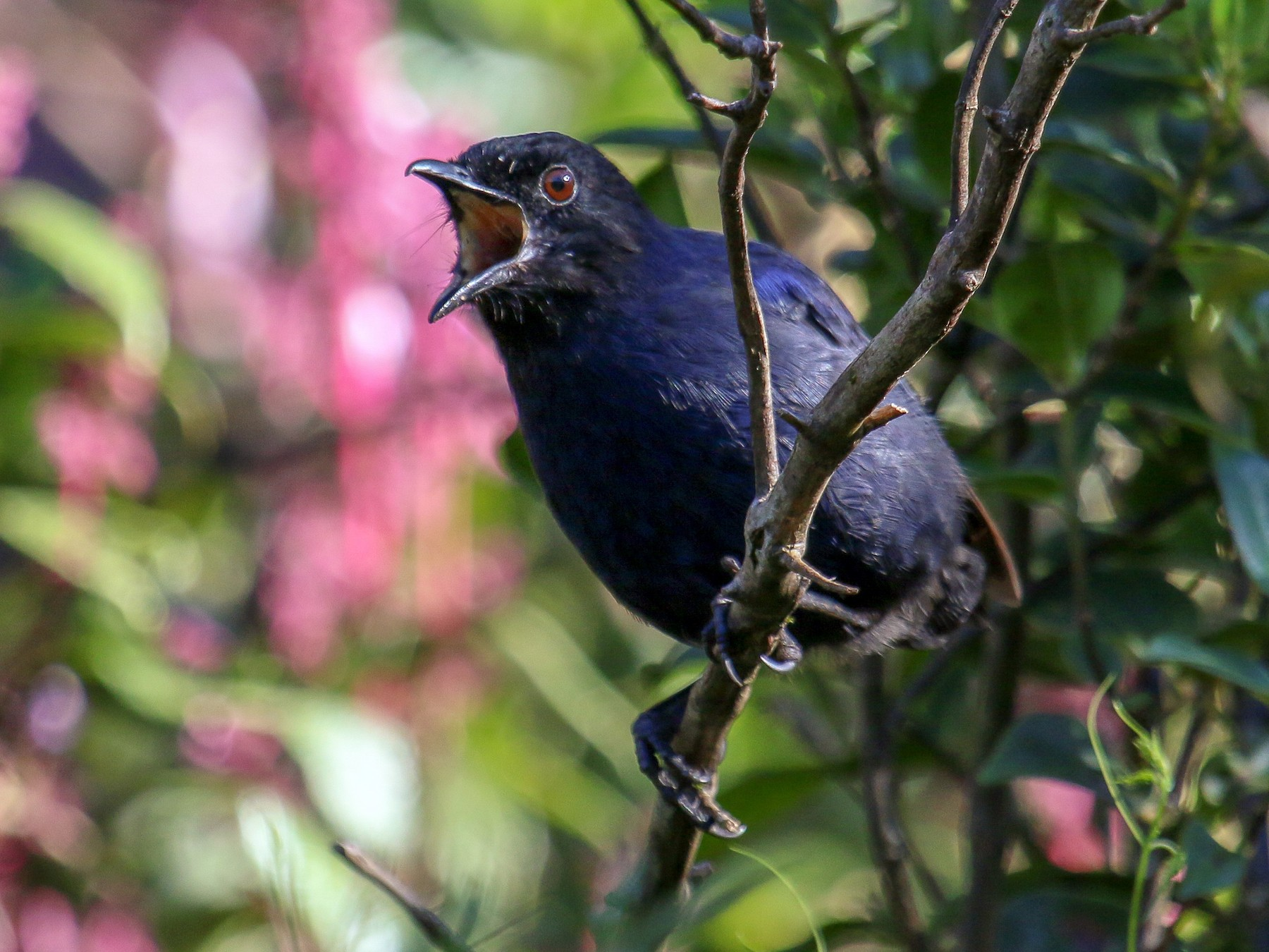 Sri Lanka Whistling-Thrush - Tommy Pedersen