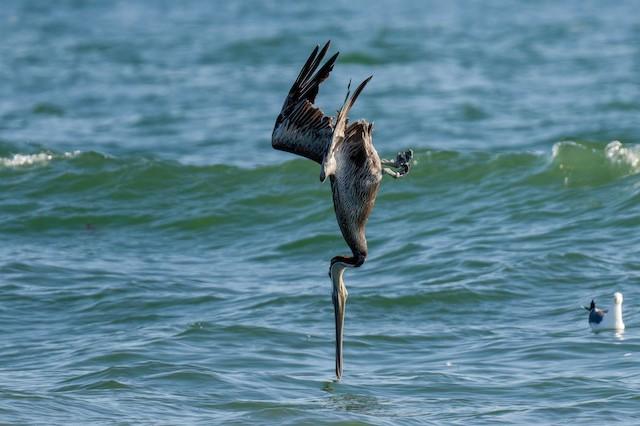 Brown Pelican (California)