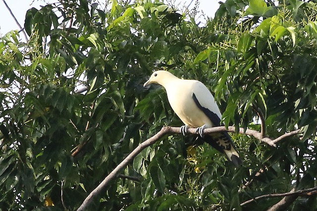 Yellowish Imperial-Pigeon