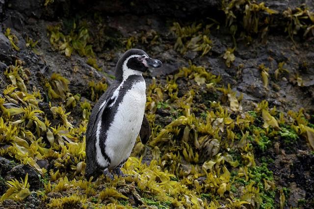 ©Brendan Ryan - Humboldt Penguin