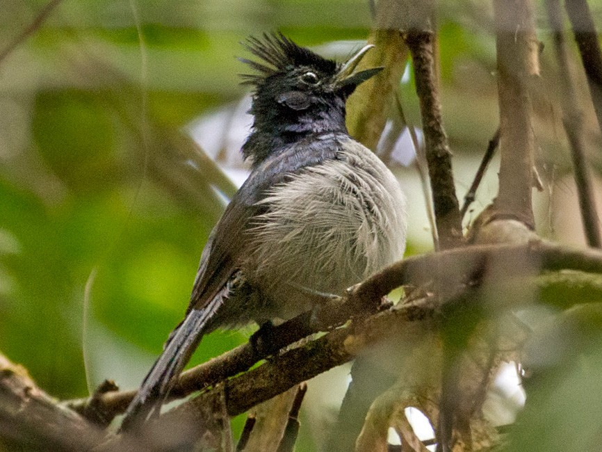 Blue-headed Crested-Flycatcher - Lars Petersson
