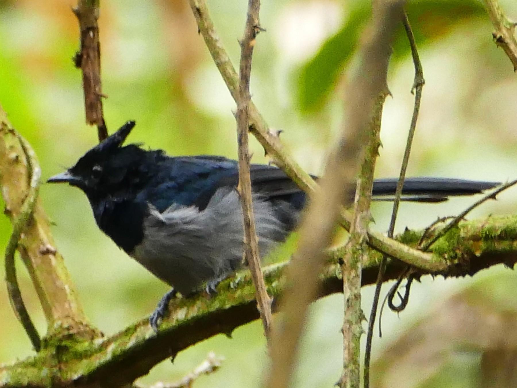 Blue-headed Crested-Flycatcher - Peter Kaestner