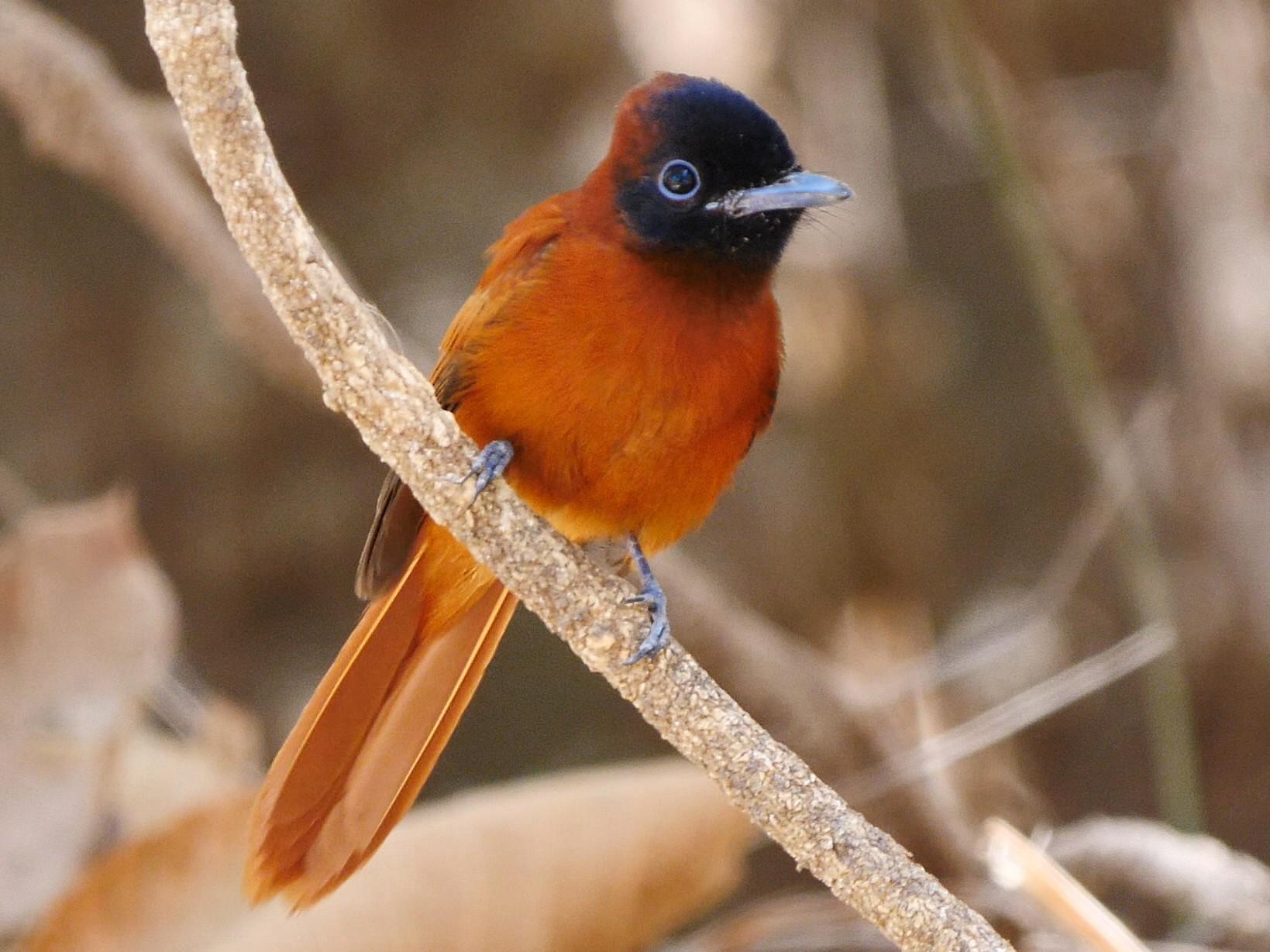 Black-headed Paradise-Flycatcher - Josep del Hoyo