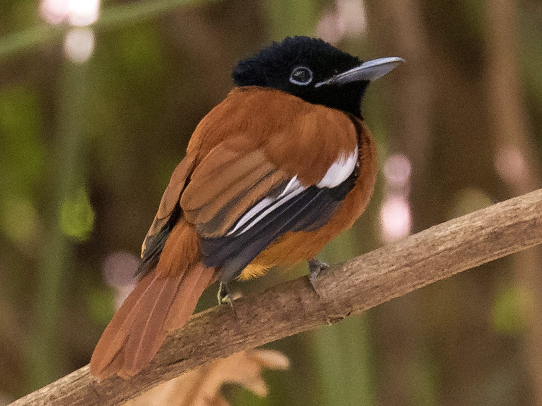 Black-headed Paradise-Flycatcher - Peter Kennerley