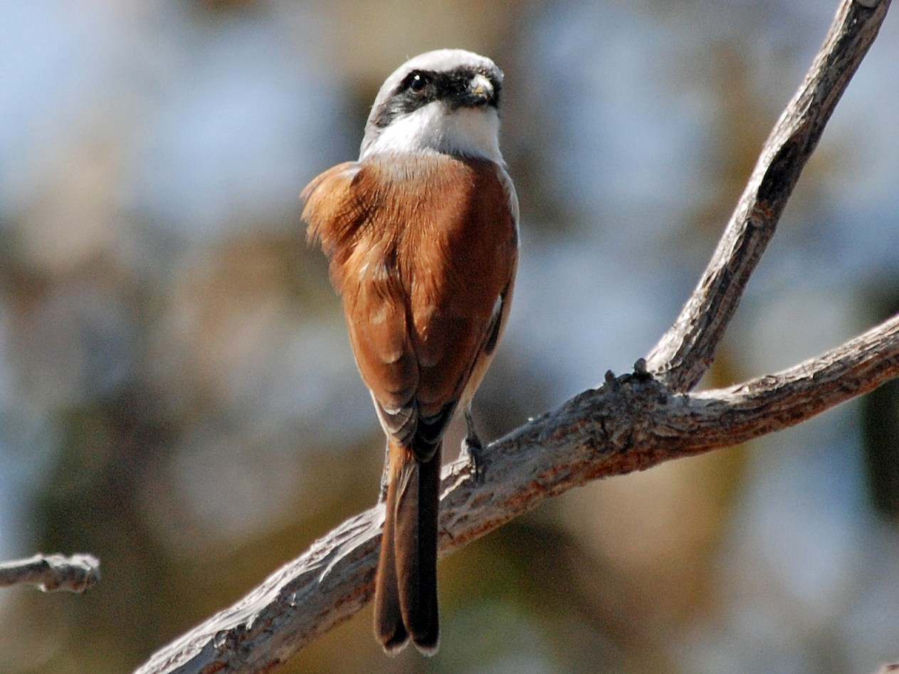 Emin's Shrike - Nigel Voaden