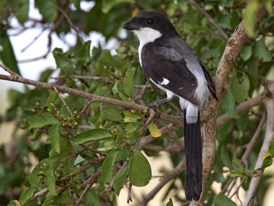 Long-tailed Fiscal - Lars Petersson