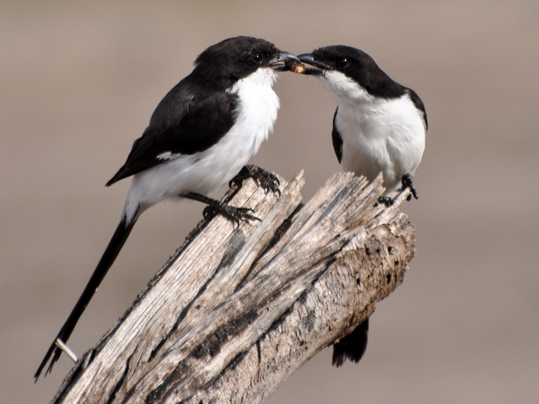 Long-tailed Fiscal - Stefan Helming
