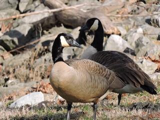 Canada Goose, ML25216971