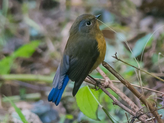 Rufous-breasted Bush-Robin