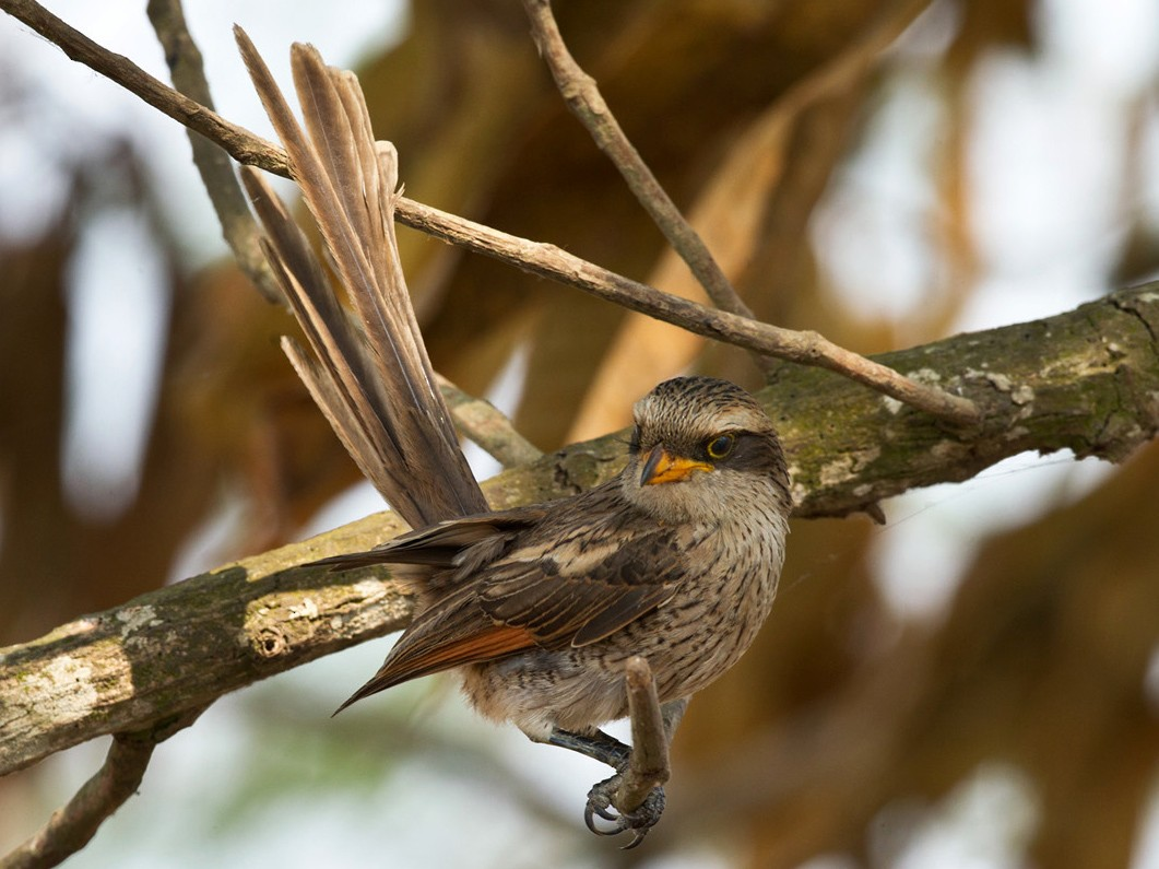 Yellow-billed Shrike - Lars Petersson