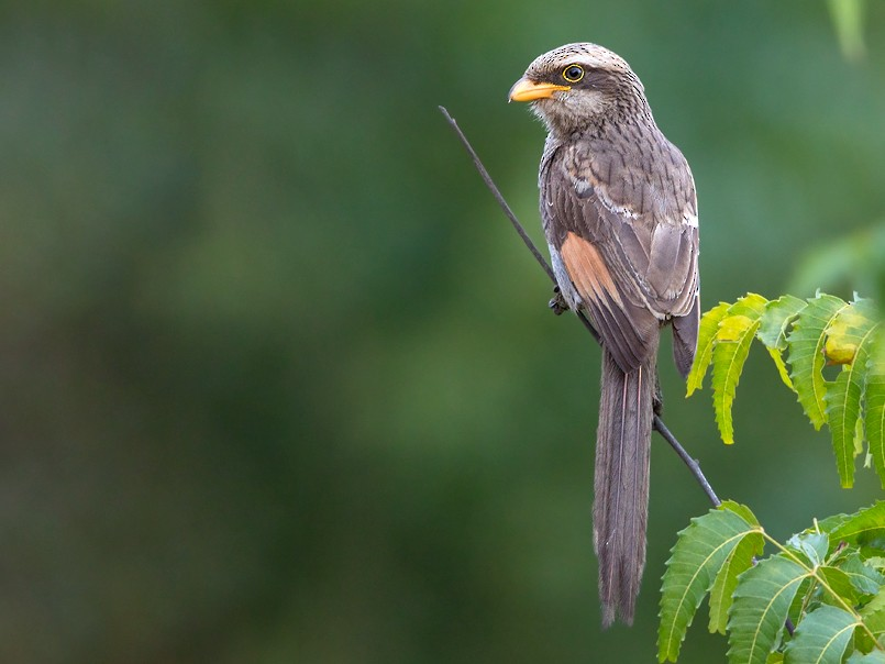 Yellow-billed Shrike - Dubi Shapiro