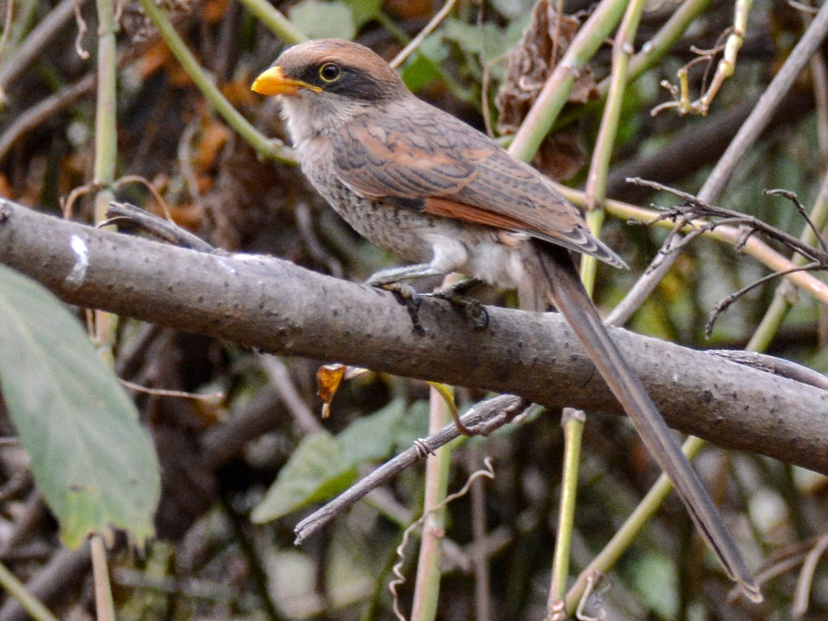Yellow-billed Shrike - Marie O'Neill