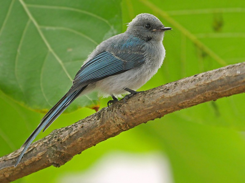African Blue Flycatcher - Nik Borrow
