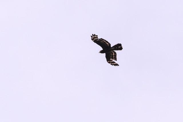 Black Honey-buzzard