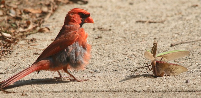 Male Northern Cardinal with praying mantis, which it eventually consumed.
