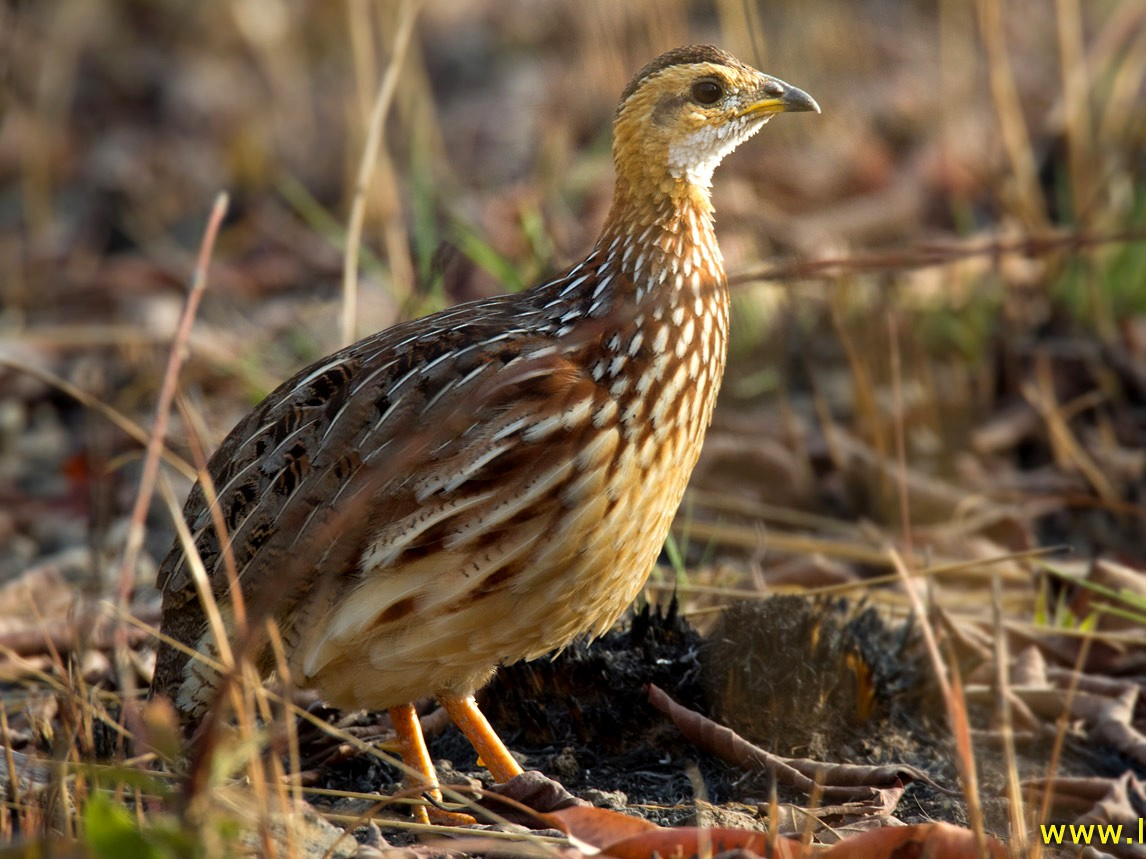 White-throated Francolin - Lars Petersson