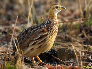 - White-throated Francolin (White-throated)