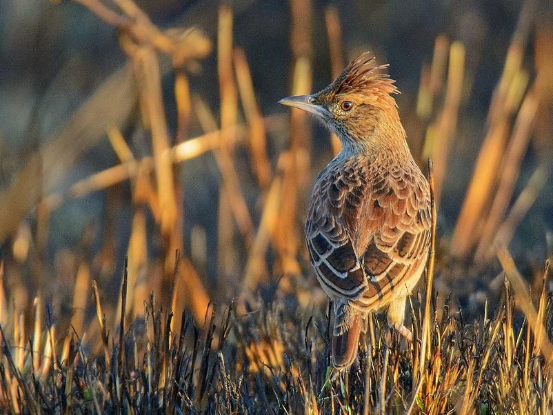 Angola Lark - Dylan Vasapolli - Birding Ecotours