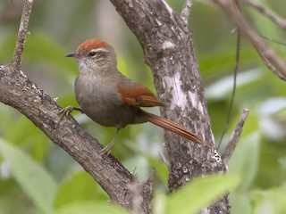- Line-cheeked Spinetail