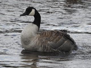 Canada Goose, ML252722261