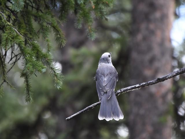 Canada Jay (Rocky Mts.)