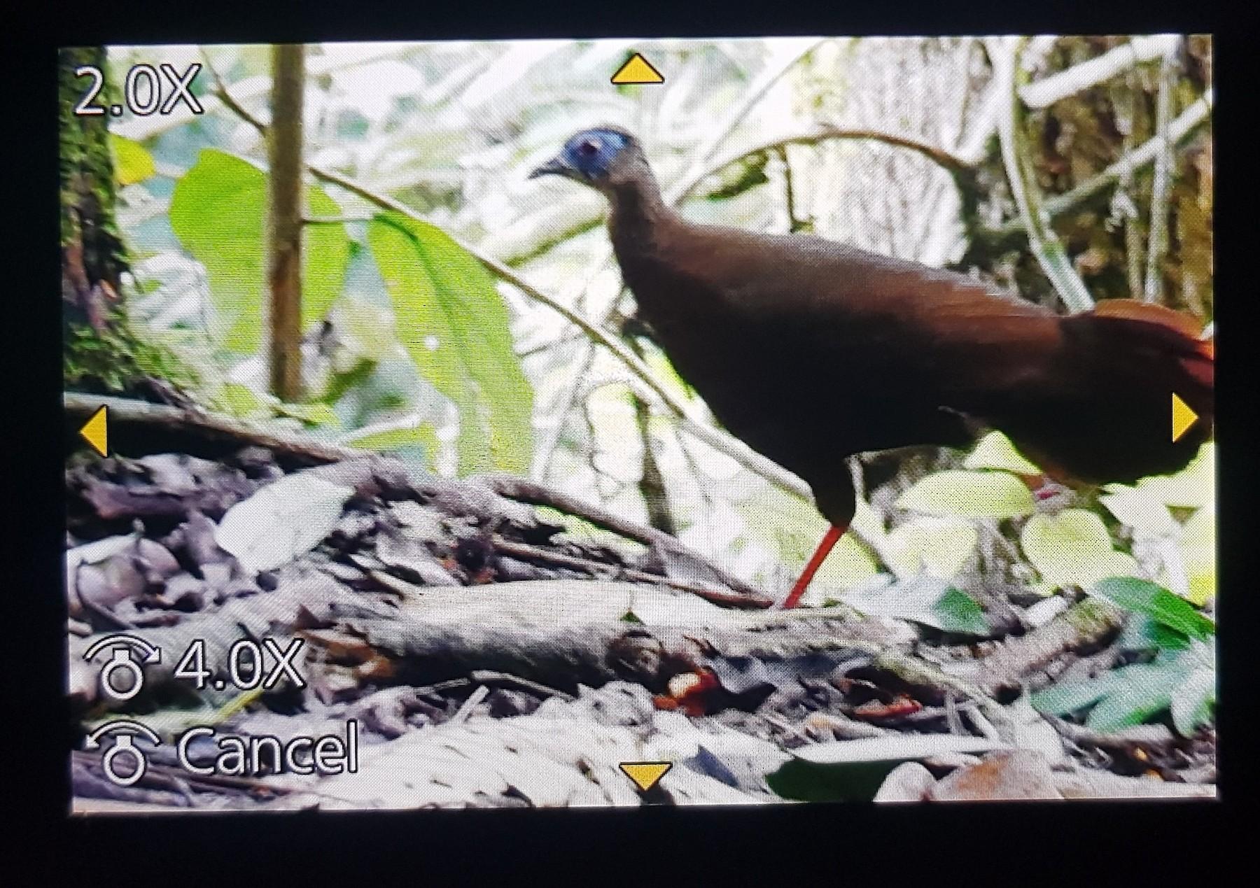 Bulwer's Pheasant - John Bakar