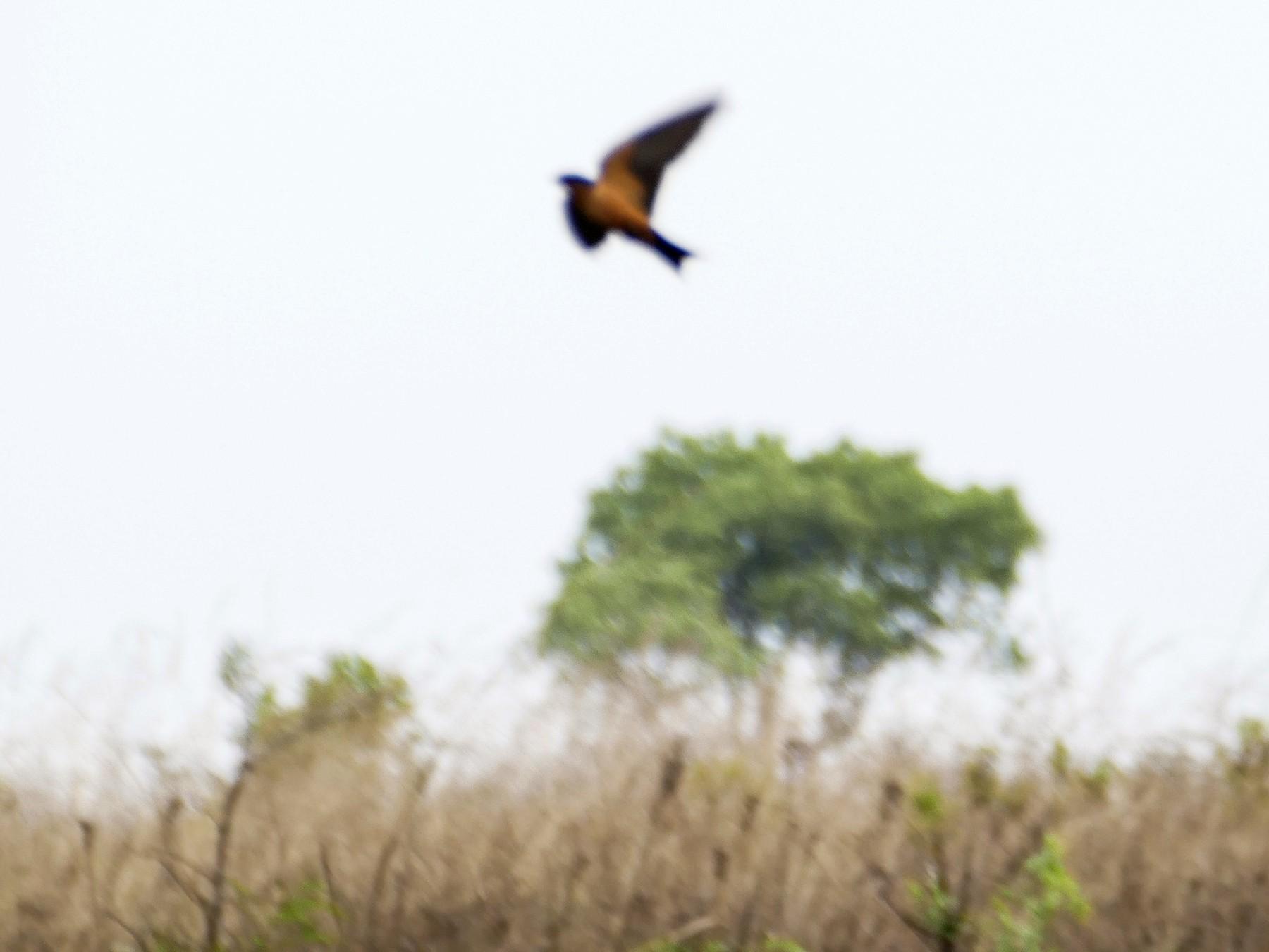 Black-and-rufous Swallow - Peter Kaestner
