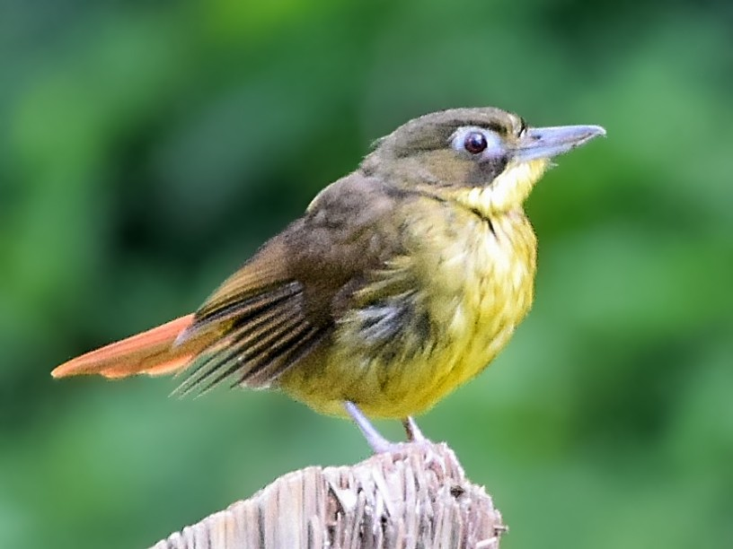 Red-tailed Bristlebill - Nathan Hentze