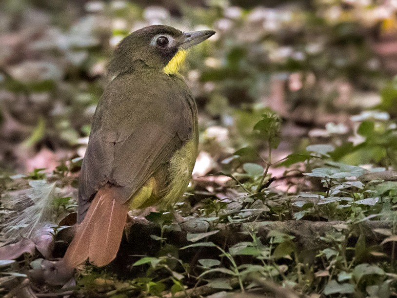 Red-tailed Bristlebill - Lars Petersson