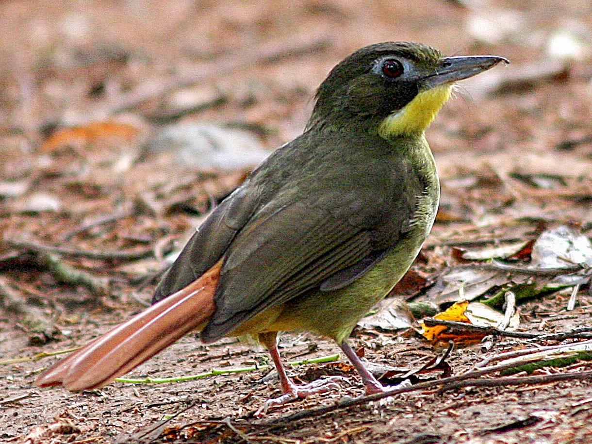 Red-tailed Bristlebill - David Bradley