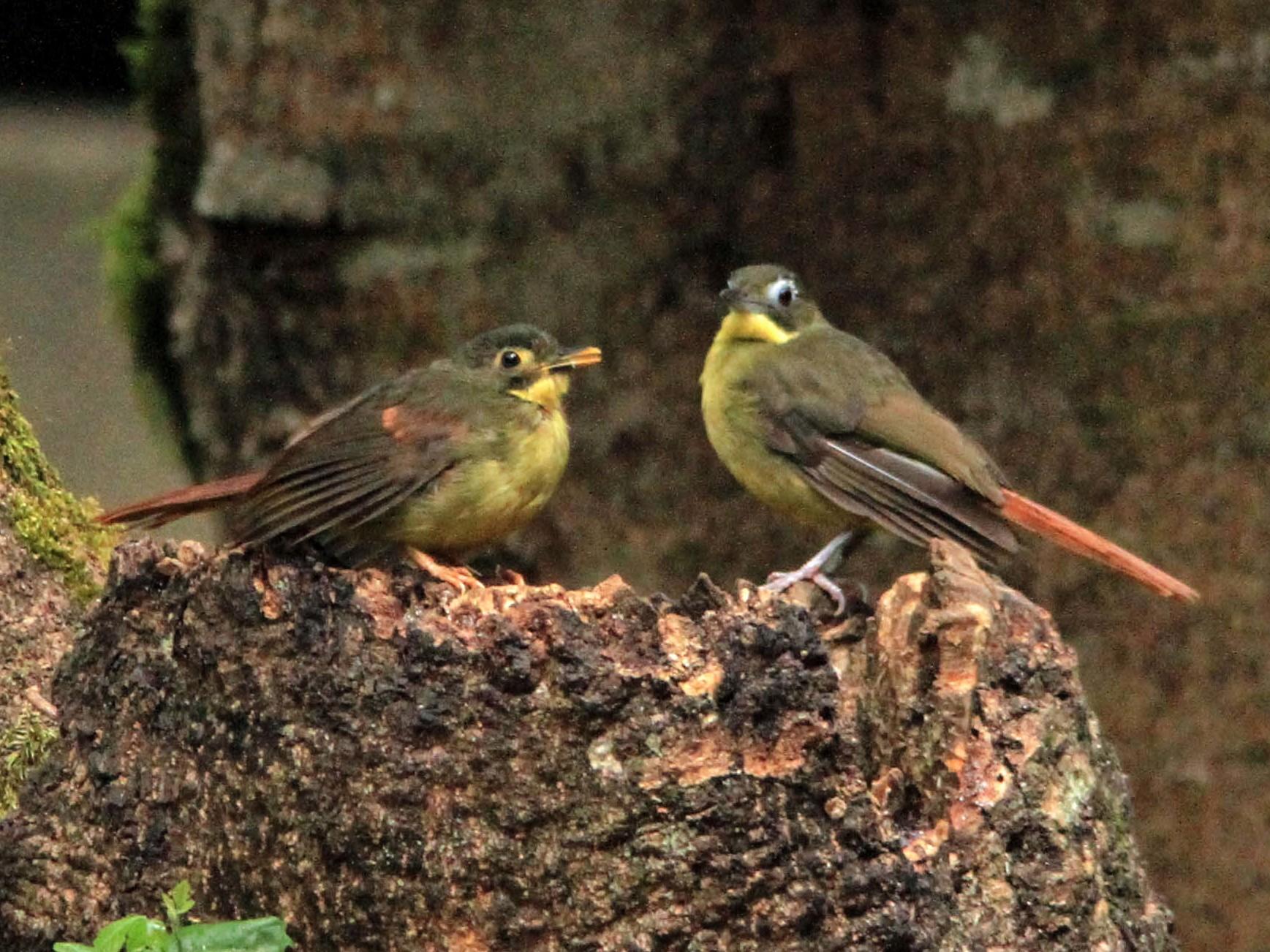 Red-tailed Bristlebill - Jeffery Sole