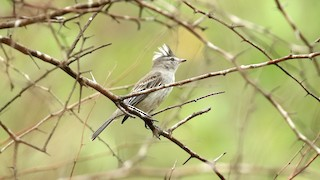 - Gray-and-white Tyrannulet