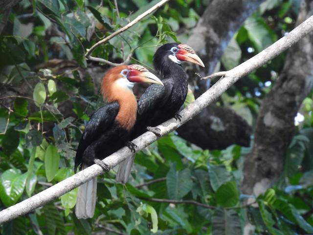 ©Rohit Naniwadekar - Narcondam Hornbill
