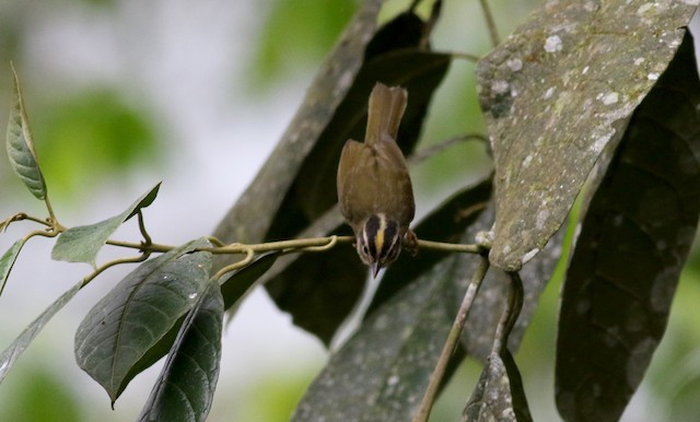 Three-striped Warbler (daedalus)