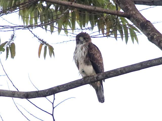Pygmy Eagle