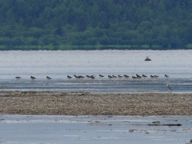 A group of 22 Nordmann's Greenshank (>1% of the world's population) staging in Schaste Bay, Russia during migration.