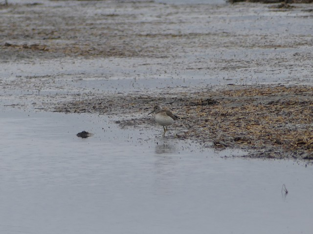 Fledgling foraging on an intertidal flat.