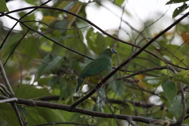 Blue-capped Fruit-Dove