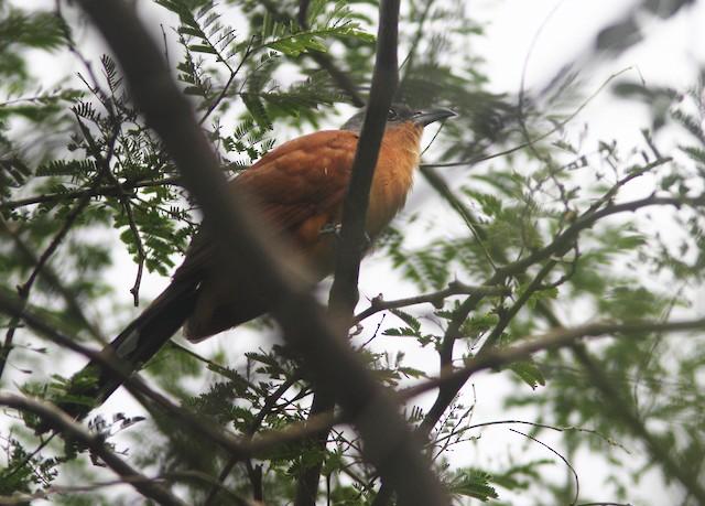 Gray-capped Cuckoo