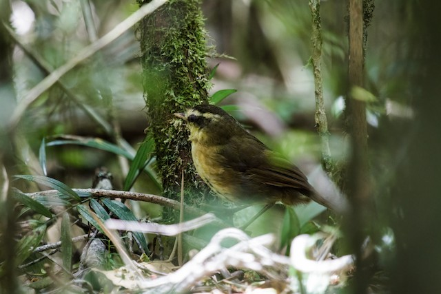 Yellow-browed Oxylabes